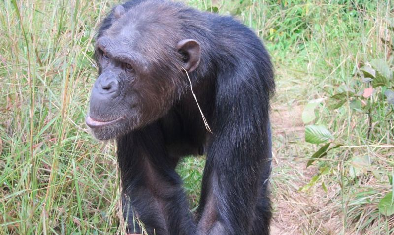 chimpanzee with grass in ear