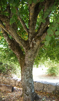 Trunk and main branches of a linden tree